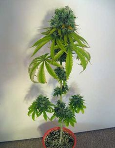 Marijuana Plants, Cannabis Plant, Growing Weed Indoors, Hydroponic Grow Systems, Weed Plants, Cannabis Cultivation, Plants, Ganja, Flowers
