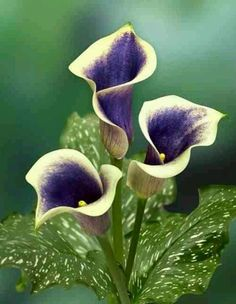 Looking for Mini Calla Lily Flower? Flower Explosion offers you mini calla lily flower bouquet in dark pink for wedding arrangements at wholesale and retail. Lys Calla, Purple Calla Lilies, Calla Lily, Purple Carnations, White Lilies, Exotic Flowers, Amazing Flowers, Pretty Flowers, Purple Flowers