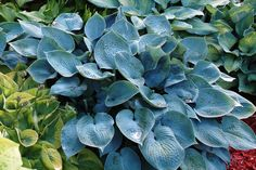 Hosta (Tardiana Group) 'Hadspen Blue'
