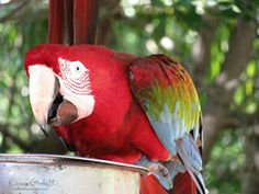 Red Macaw photographed in St. Maarten