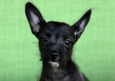 Bat Man is an adoptable Poodle Dog in Cadet, MO. Meet Bat Man, he is a 9 week old Poodle/Chihuahua mix.   He was named Bat Mad because of his ears and his outgoing spunky personality.   When another p...