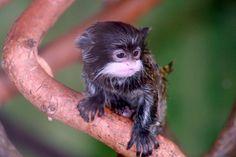 Emperor Tamarin.... look how cute it is :)