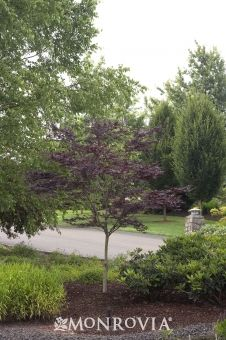Emperor I® Japanese Maple  Attractive dark red foliage turns brilliant scarlet in fall. Interesting blackish red bark. Well-suited for use as a small lawn tree. Thrives better in colder climates than most Japanese Maples since leaf buds open later in spring, avoiding danger of late frosts. Deciduous.