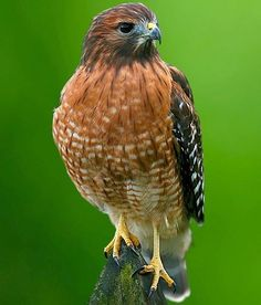 Learn Everything You Can About the Red-Shouldered Hawk!