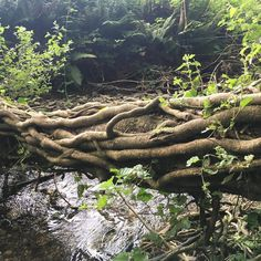Cross the stream there was a tree Covered in vines and ivy I took this pic In County Limerick And wrote these lines of poetry