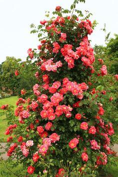 Vertical Rose Gardening How to Grow Climbing Roses in a Small Space Garden Photos Small Rose Garden Ideas, Rose Garden Design, Love Garden, Shade Garden, Garden Plants, Climbing Roses, Kordes Rosen, Bush Garden, Gardens
