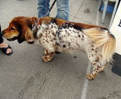 maybe a Basset crossed with English Setter? Animals And Pets, Funny Animals, Cute Animals, Talking Animals, Unique Animals, Rottweiler, Pitbull, Pug, Baby Animals