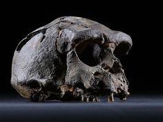 La taxonomía de los homininos, y en particular la del género Homo, ha dado lugar a controversias muchas veces alejadas de los cauces estrictamente científicos. Una de las cuestiones más debatida está relacionada con la identidad de Homo erectus. Algunos colegas dan por hecho que esta especie vivió en Africa y Asia (y tal vez […]