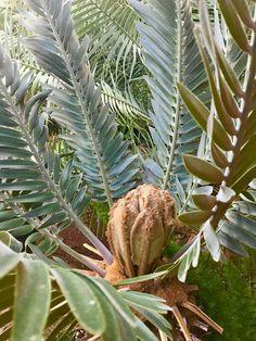 E.heenanii Jan.2017 Jan 2017, Botany, Palm Trees, Plant Leaves, Plants, Palm Plants, Planters, Plant, Planting