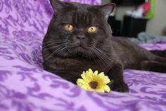 cute British shorthair boy. this is a flower for you, my sweetheart :) #смешнойкот #путешествиескотом #cat #котейка #petstagram #ilovemycat #instagramcats #catoftheday #lovecats #chillin #милаш #instacat #britishshorthair #britishcat #cutecats #британец #британскийкот #милыйкот #британецкот #шоколадныйкот #коты #красивыйкот #толстыйкот #котя #funny #funnyanimals