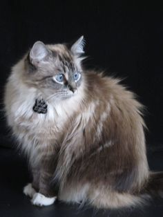 Ragdoll Cats Rescue Texas