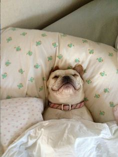 Snoozin' Frenchie.