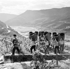 Trabalhadores nas vinhas do Douro, nos anos 50 ou 60. Artur Pastor.