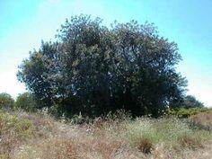Alfarrobeira [idade: 600 anos] - Quinta da Parra - Freg.: Moncarapacho - Conc.: Olhão - Distrito: Faro