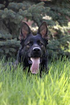 Beautiful Black Sable German Shepherd