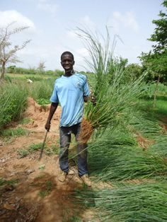Harvested mature vetiver grass plant for propagation by Vetiver Senegal Soil Conservation, Making Essential Oils, Parcs, Propagation, Timeline Photos, Trees To Plant, Harvest, Grasses, Eos