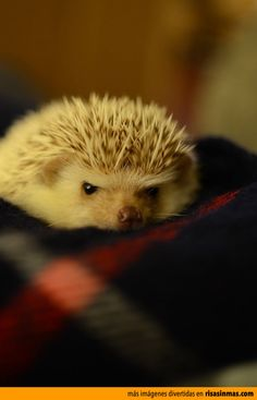 Grumpy Hedgehog vs. Grumpy Cat.
