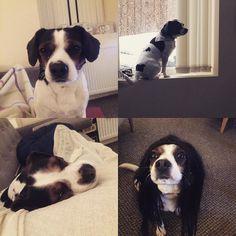 Coolest mutt ever #dogsofinstagram #dog #bestfriendsforlife #cavajack #handsomedog