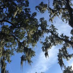 """Spanish Moss in Savannah, Georgia. #ecru #travel #inspiration #nature #Savannah #south"""