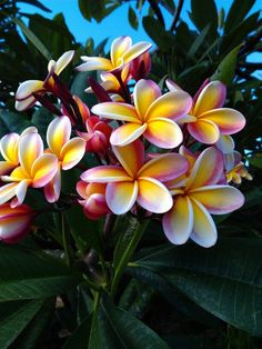 Beautiful plumeria tree in ewa beach hawaii made leis out of these