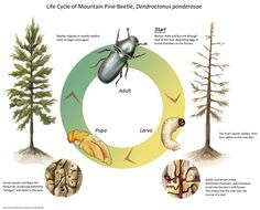 About the Mountain Pine Beetle.Life cycle This beetle is a non-native destructive pest