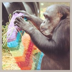 Day 11 - We have a lot to be happy about today on the 6th anniversary of the chimps' arrival and Negra's birthday! Here's our Queen with a number 6 piñata. #100happydays #chimpsanctuarynw #chimpanzee