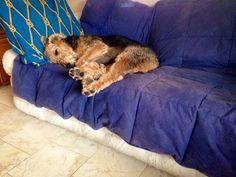 Airedale Sleep Position # 40