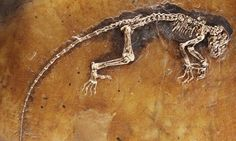 Ida, one of the most complete primate fossils ever found, a 47-million-year-old human ancestor