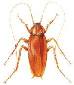 cockroach control in Melbourne http://termitesvic.com.au/cockroaches/