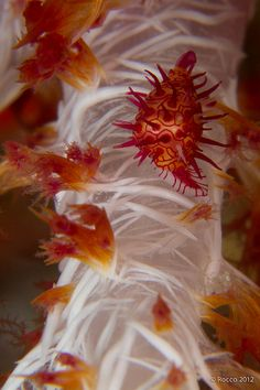 Another gorgeous close up image.. check out the detail on the coral!   Baby Cowry
