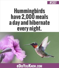 eDidYouKnow.com ►  Hummingbirds have 2,000 meals a day and hibernate every night.