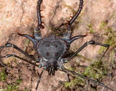 Harvestman spiders (Opiliones)- Family: Gonyleptoidea- Although commonly known as harvestman spiders, this arachnid is not actually a spider. The closest relatives of the. Beautiful Bugs, Animals Beautiful, Cute Animals, Cool Insects, Bugs And Insects, Beetle Insect, Insect Art, Brazil Art, Animals