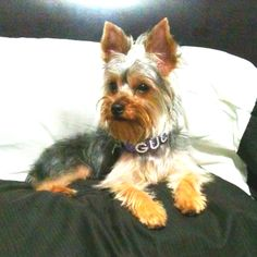 My yorkie baby Yorkies, Animal Rights, Yorkshire Terrier, Mommy And Me, Gucci, Dogs, Cute, Baby, Animals