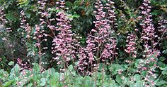 Heuchera 'Rosada' - rosada coral bells. California native plant; one of the best flowering perennials for dry shade; introduced to the nursery trade by the UC Davis Arboretum.