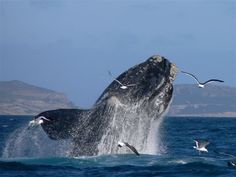 Whale watching in Plettenberg Bay. I am have still yet to see a whale breaching. One day it will happen Knysna, Primates, Places To Travel, Places To See, Cave Images, South Afrika, Safari, Wale, Out Of Africa
