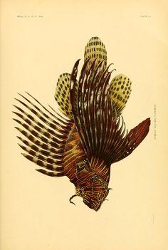 1906  |  The fishes of Samoa. - Biodiversity Heritage Library