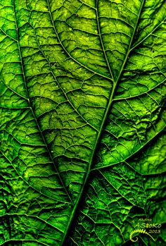 Fractal branching pattern - ~~Photosynthese ~ saturated leaf macro by AStoKo~~