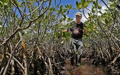 FIU landscape ecologist Michael Ross walks through a dwarf mangrove forest where Hurricane Andrew hit in The storm leveled trees along the coast that stood more than 60 feet tall. Hurricane Andrew, Mangrove Forest, International Day, The Secret History, Natural Disasters, Bald Eagle, Miami, Coast, Weather