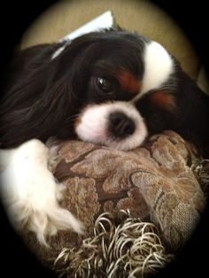 Love this~ King Charles Cavalier ♥