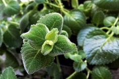Rýmovník pomáhá nejen s rýmou, vypěstuje ho i amatér - Vitalia. Weight Loss Detox, Plant Leaves, Healing, Plants, Zero Waste, Gardening, Fitness, Exercises, Syrup