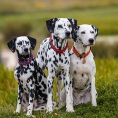 Immigration Canada, Horse Feed, Mandarin Duck, Dalmatian Dogs, Types Of Food, Wild Horses, Beautiful Dogs, Animal Photography, Pitbulls