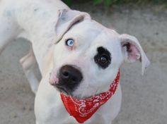 ~~STUNNING 2 YR OLD LITTLE GIRL TO BE DESTROYED - 08/03/14~~ Brooklyn Center -P  My name is LISA. My Animal ID # is A1007987. I am a female white and black pit bull mix. The shelter thinks I am about 2 YEARS old.  I came in the shelter as a STRAY on 07/25/2014 from NY 11234, owner surrender reason stated was STRAY.