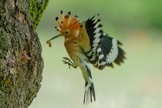 Hoopoe meal by Gerald Wolf on 500px