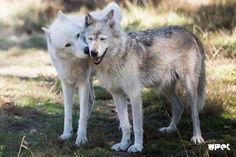 Wolf Love, White Wolf, Habitats, Husky, Wildlife, Puppies, Wolves, Dogs, Animals