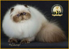 GC, BW, NW Benoma Precious Blue Genese, Seal Point Male Persian - 23rd Best Cat in North America/Japan/Europe