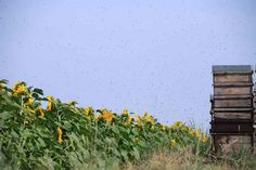 Le Peuple des Abeilles par le photographe Eric Tourneret. Aussi visible sur Apis Cera (www.apiscera.com) Hives And Honey, I Love Bees, Bee Happy, Bee Keeping, Wild Flowers, Seeds, Garden, Visible, Outdoor Decor
