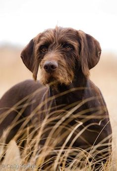 By Craig Koshyk.A versatile hunting dog from Germany developed b. By Craig Koshyk.A versatile hunting dog from Germany developed by crossing a German Hunting Poodle a Pet Dogs, Dogs And Puppies, Dog Cat, Doggies, Animals And Pets, Cute Animals, Pointer Puppies, Dog Photography, Hunting Photography