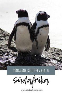 Ein Highlight für einen Südafrika Urlaub Pinguine am Boulders Beach und Foxy Beach – trefft die südafrikanischen Pinguine. Informationen zu den Pinguinen in Südafrika und Tipps zum Besuch am Boulders Beach und Foxy Beach bei den Simons Town Pinguinen. #Südarika #BouldersBeach #Pinguine #HighlightsSüdafrika Tromso, Boulder Beach, Wale, Bouldering, Penguins, Road Trip, Tricks, Gin, Animals