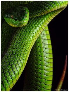 The great green snake. Beautiful animal