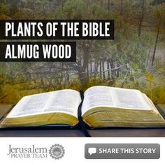 Plants of the Bible: Almug Wood    For more on this story, visit: http://articles.jerusalemprayerteam.org/plants-of-the-bible-almug-wood/    To encourage others to pray for peace in Jerusalem, LIKE and SHARE this story, and leave your PRAYERS and COMMENTS below.	    To help our cause financially, go here: http://jerusalemprayerteam.org/email/2013/0121-fb.htm
